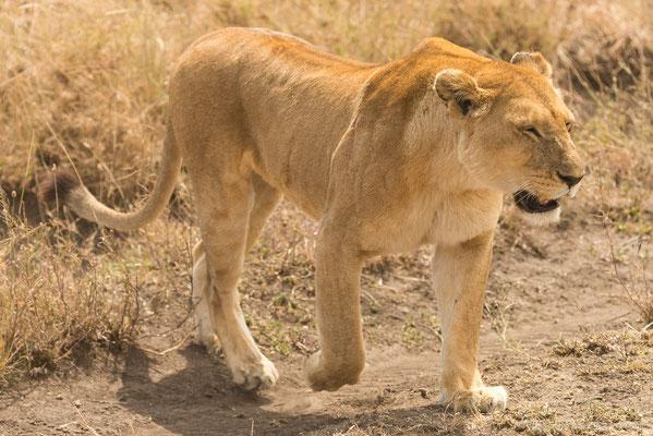Serengeti: Löwe