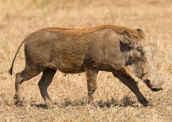 Serengeti: Warzenschwein
