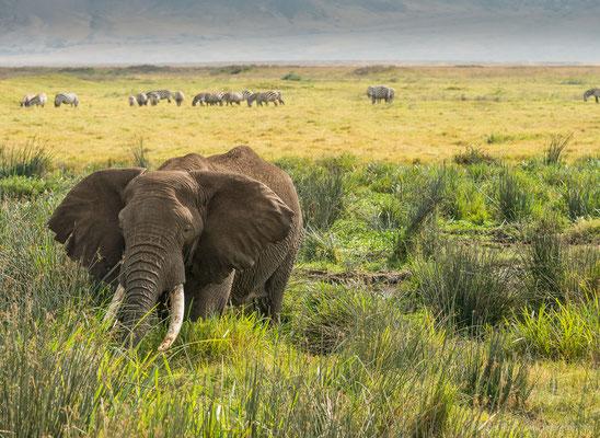 Ngorongoro-Krater: Elefant und Zebras