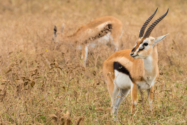 Ngorongoro-Krater: Thomson-Gazelle
