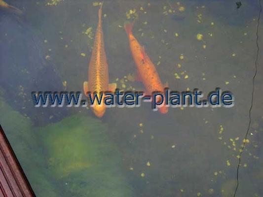 Xylitwalzen vergrößern die Sichttiefe ins Wasser