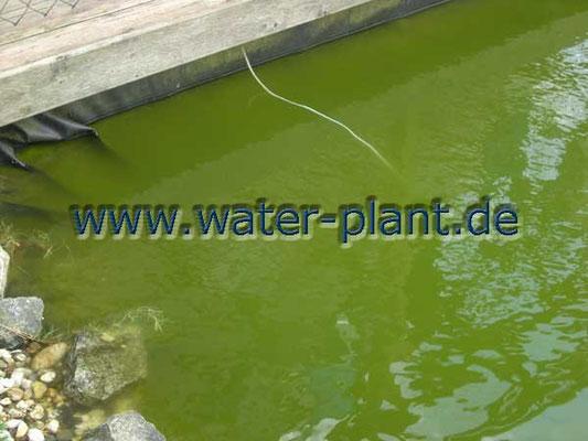 einzellige Algen trüben das Wasser