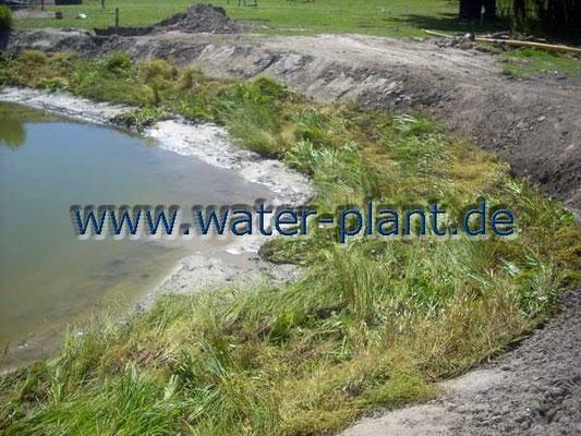 mit Anstauen des Wassers bilden Röhrichtmatten hier eine reich strukturierte Uferzone