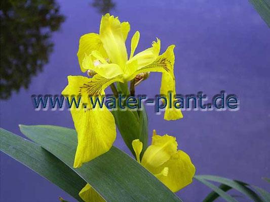 Wumpf - Schwertlilie