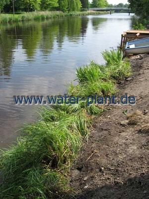Röhrichtmatten schützen die neue Uferböschung