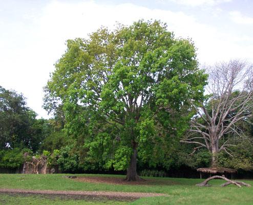 historia del árbol