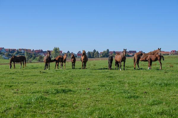 Zuchtstuten und Fohlen auf der Weide