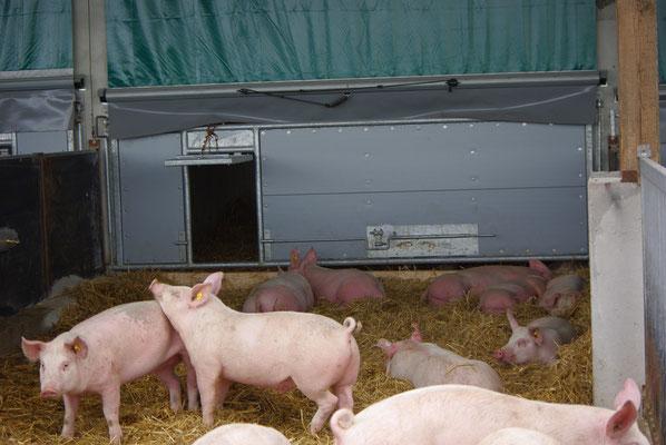 Schweine im Auslauf