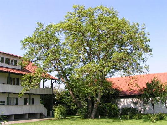fachgerechter Rückschnitt des Walnußbaumes