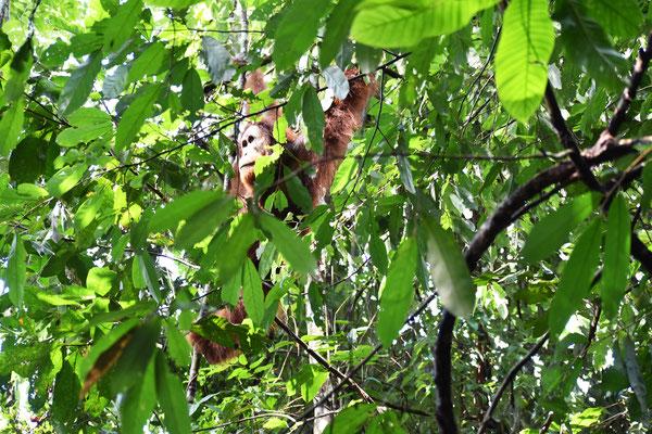 orang-utan-frei-um-jungle