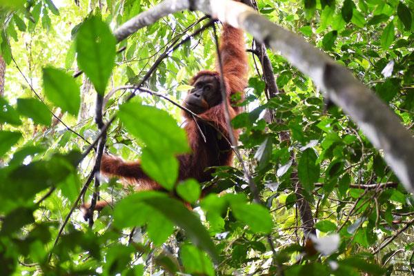 orang-utan-frei-lebend
