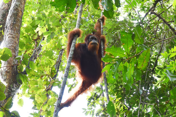 orang-utan-freilebend