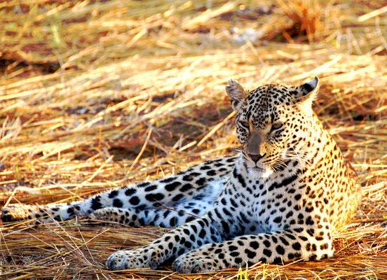 sabi-sand-leopard