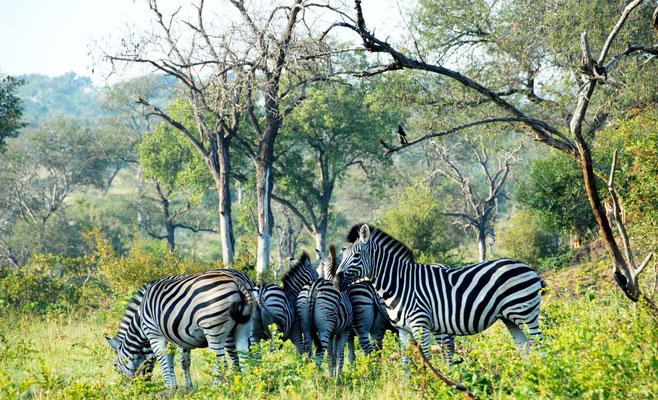 sabi-sand-zebras