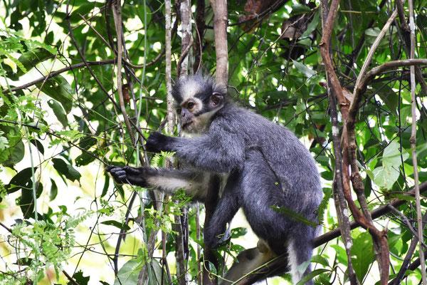 thomas-langur-monkey