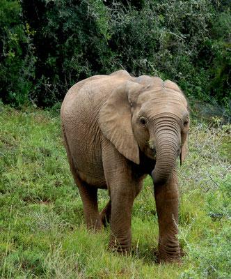 elefante-baby-in-gorah