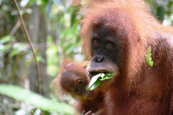 orang-utan-sumatra