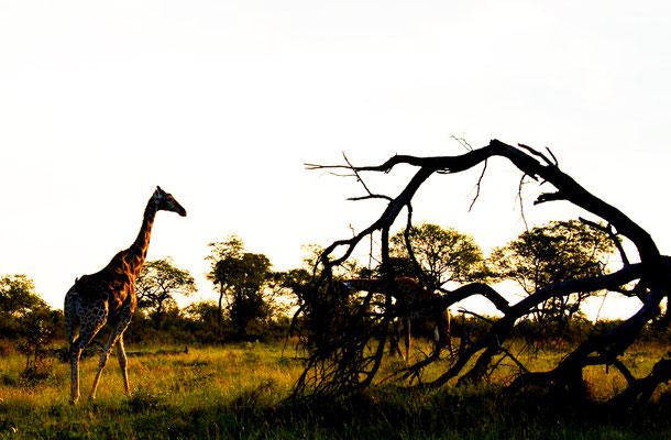 sabi-sand-giraffe-am-morge