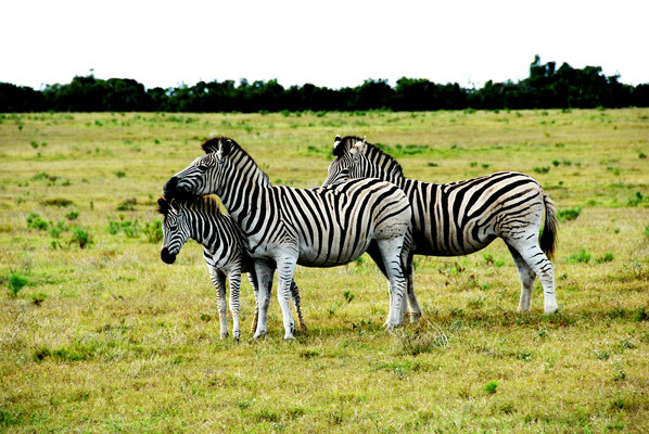 gorah-zebras