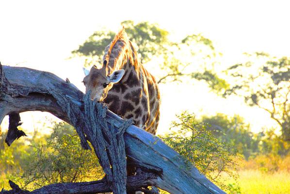 sabi-sand-giraffe