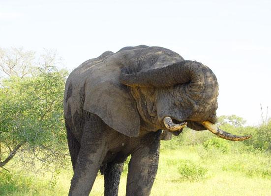 sabi-sand-elefant