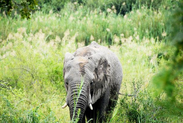 sabi-sand-babyelefant