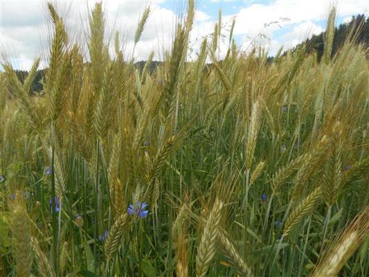 Culture de céréales pour nourrir les troupeaux caprin et ovin