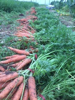 Récoltes de bottes de carottes près de La Talaudière