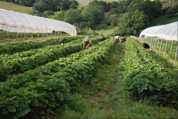 Récolte manuelle de haricots à la Ferme la Brabinette