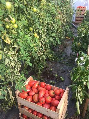 Récolte de Tomates au GAEC les 4 Saisons