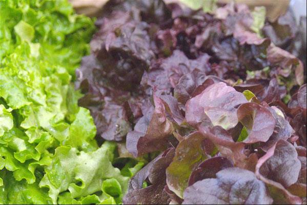 Salades issues de l'agriculture biologique de la région de Saint-Etienne