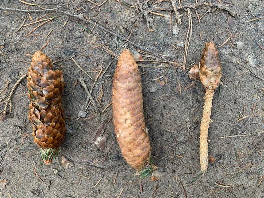 Fraßspuren an Fichtenzapfen: links Vogel, mittig unversehrt, rechts Eichhörnchen, Foto: www.schlaubatz.de
