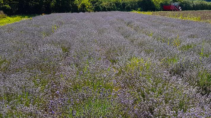 Das Lavendelfeld des Biohofes Meiwes