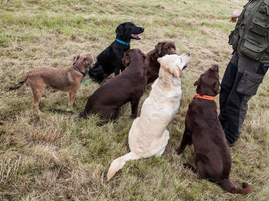 Dexter, Finch und die Labradors vom Frohlinder Berg