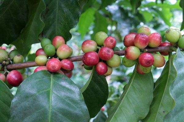Kaffeekirschen (auf der Rundreise November/Dezember 2016)