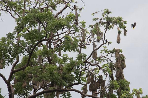 Oropendolas und ihre Nester