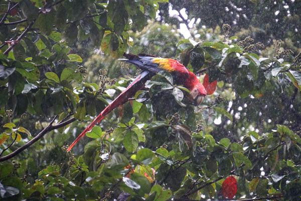 Roter Ara im Regen (auf der Rundreise November/Dezember 2016)