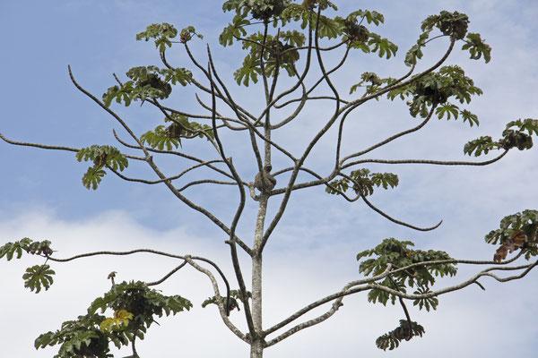 Ein Faultier im Baum - einfach zu sehen, wenn man es entdeckt hat