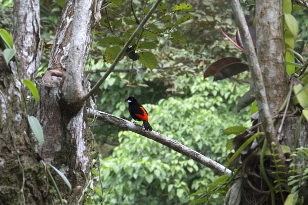 farbiger Vogel