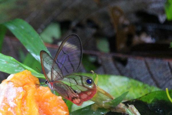 Transparenter Schmetterling (auf der Rundreise November/Dezember 2016)