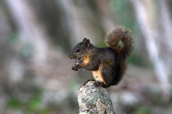 Ein Eichhörnchen in der Karibik