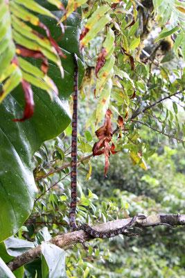 Schlange in Monteverde (auf der Rundreise November/Dezember 2016)