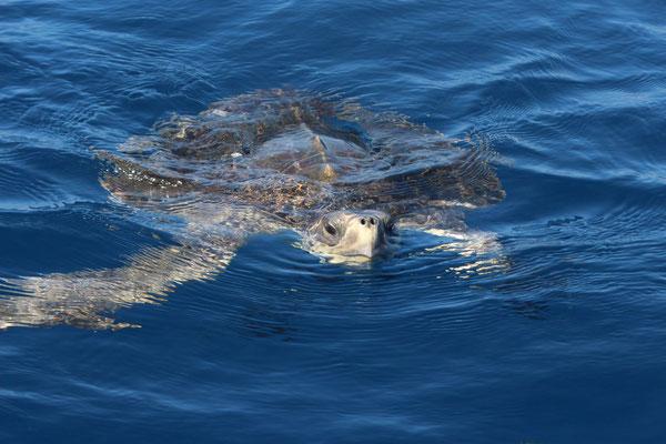 Eine Meeresschildkröte schwimmt neugierig auf unser Boot zu