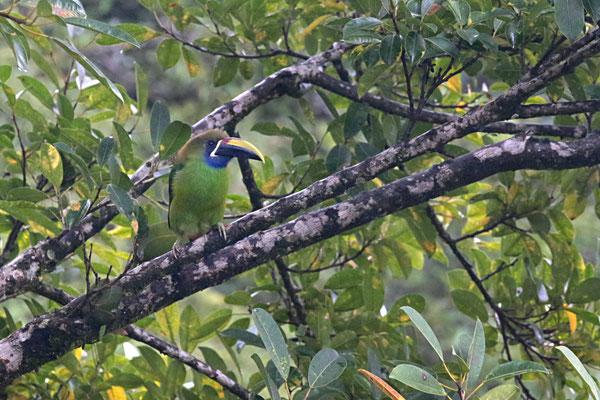 Grüner Tukan in Monteverde (auf der Rundreise November/Dezember 2016)