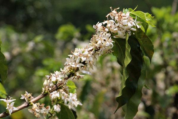 Die Blüten der Kaffeekirschen