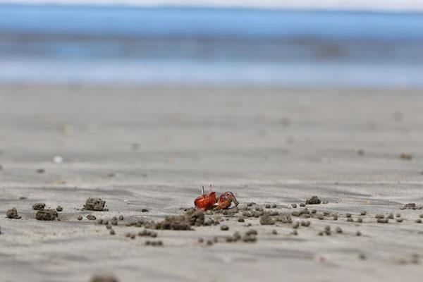 Ein Krebs baut seine Höhle am Strand