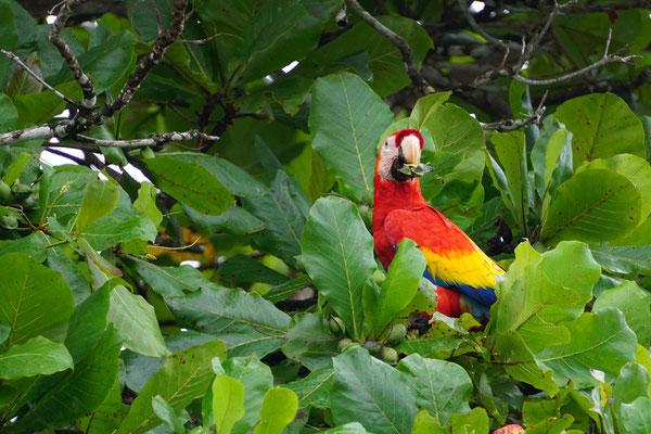 Roter Ara beim Fressen auf dem Mandelbaum (auf der Rundreise November/Dezember 2016)