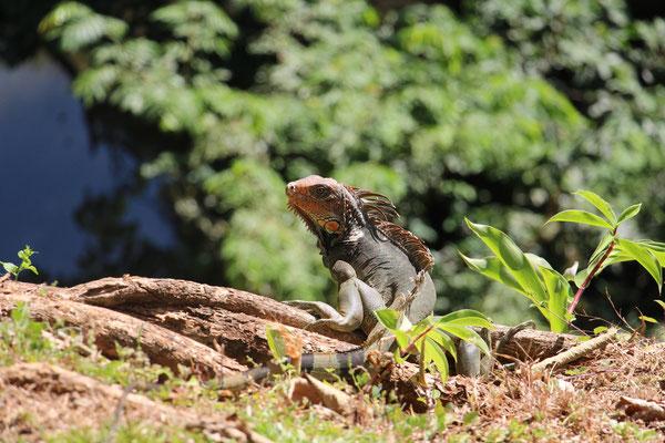 Ein Iguana