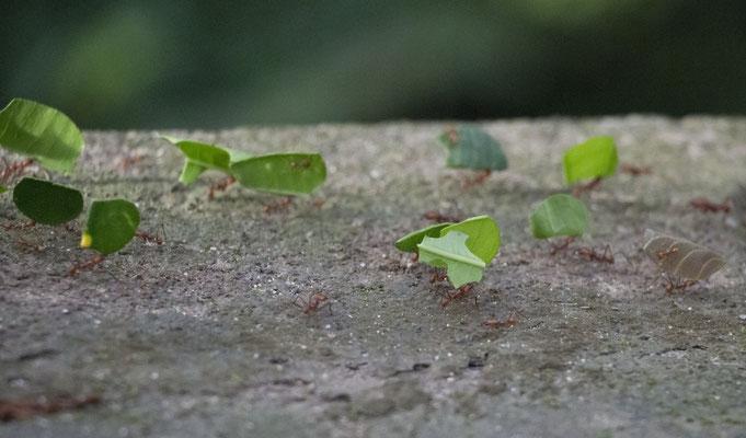 Blattschneide-Ameisen