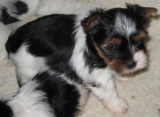 Saphir 6 Wochen alt